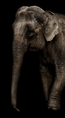 Annie the Elephant by HabilePhotography